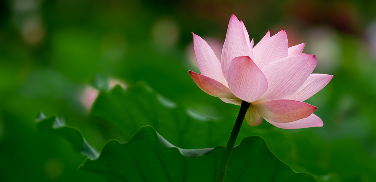 A lighter pink lotus blossom over a background of deep green leaves - slider image