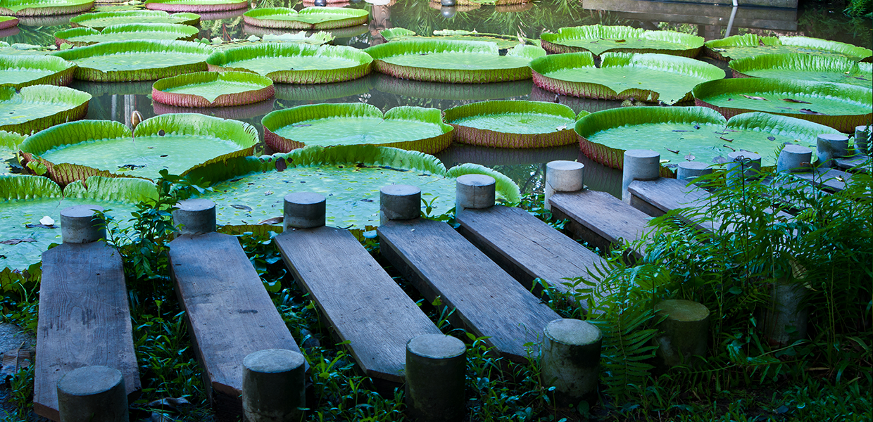 A wooden dock next to a pond of waterlilies - for slider