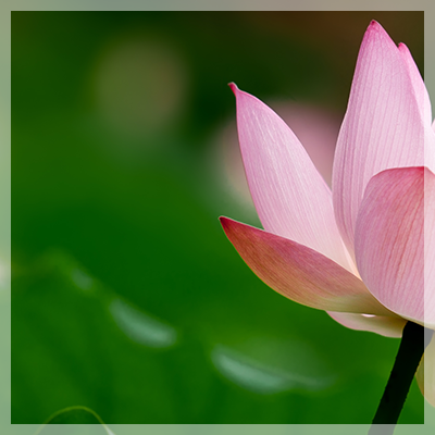 A lighter pink lotus blossom over a background of deep green leaves - for tripytch